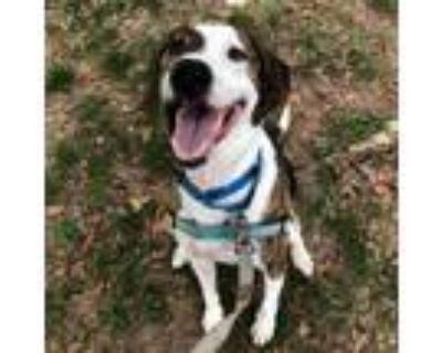 Adopt Buddy a Hound, Labrador Retriever