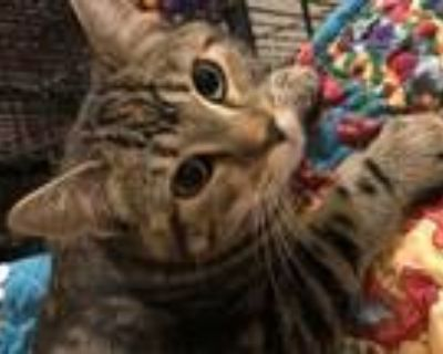 Adopt Gremlin a Domestic Shorthair / Mixed (short coat) cat in Fort Worth