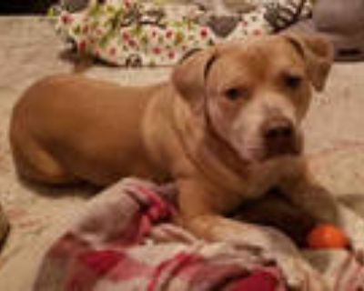 Adopt GERMANY a Tan/Yellow/Fawn - with White Labrador Retriever / Mixed dog in