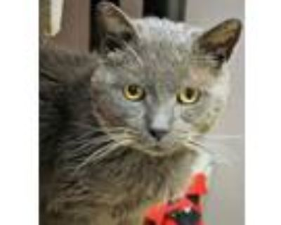 Douglas (in Foster), Domestic Shorthair For Adoption In Noblesville, Indiana