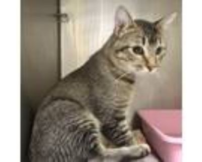 Adopt George a Domestic Shorthair / Mixed (short coat) cat in Heber