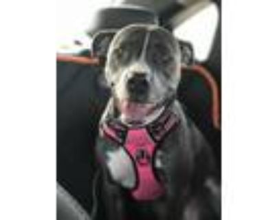 Adopt Jada a Brindle American Pit Bull Terrier / Mixed dog in Fort Worth