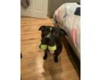 Adopt Kylo a Pit Bull Terrier