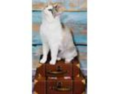 Adopt Jamaica a Cream or Ivory Domestic Shorthair / Domestic Shorthair / Mixed