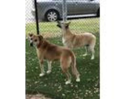 Adopt MANDY& ELSA - bonded seniors! a Labrador Retriever