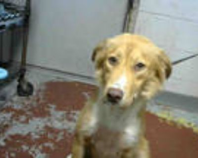 Adopt BECKY G a Brown/Chocolate - with White Border Collie / Mixed dog in