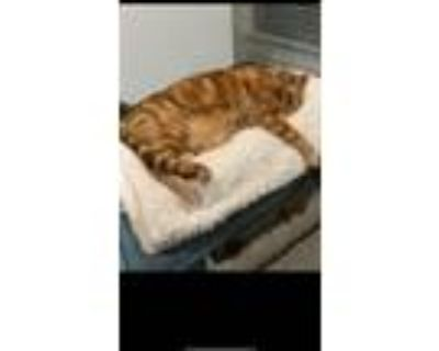 Adopt Felix a Orange or Red (Mostly) Bengal / Mixed (short coat) cat in