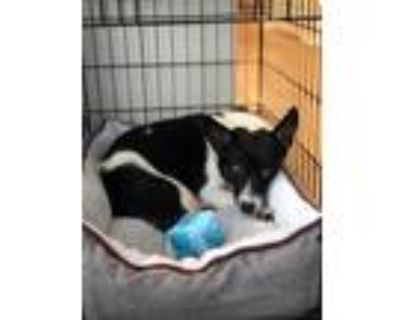 Adopt Clary a Black - with White Australian Shepherd / Border Collie dog in