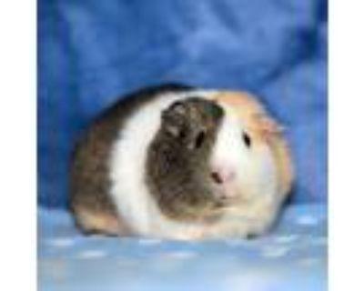 Adopt Pixie a Guinea Pig