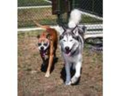 Adopt MINA a White - with Black Husky / Mixed dog in Waterford, VA (32084383)