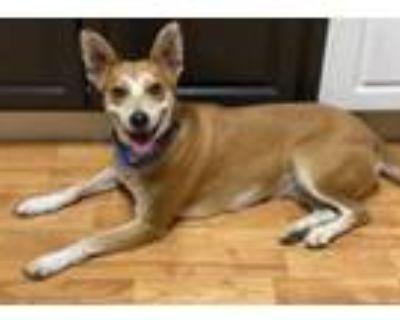 Adopt Lily a Shiba Inu, Labrador Retriever