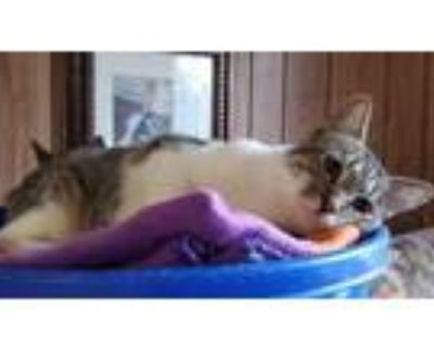 Adopt Kitten 21677 a Brown or Chocolate Domestic Shorthair (short coat) cat in