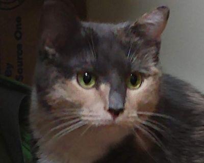 Clarissa - Domestic Shorthair - Adult Female