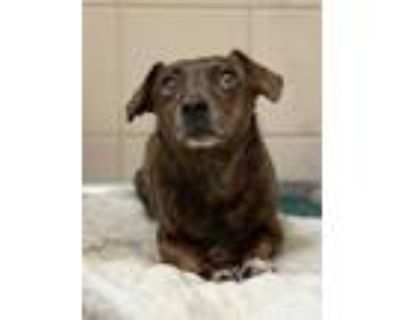 Adopt Sarah-Rescue Only a Black Dachshund / Mixed dog in Arlington