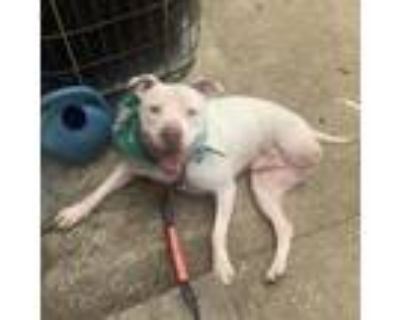 Adopt Keylow a Pit Bull Terrier