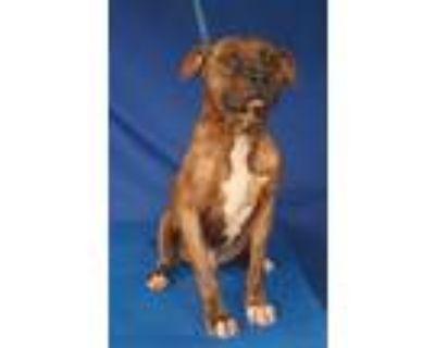 Adopt Jason a Boxer, Pit Bull Terrier