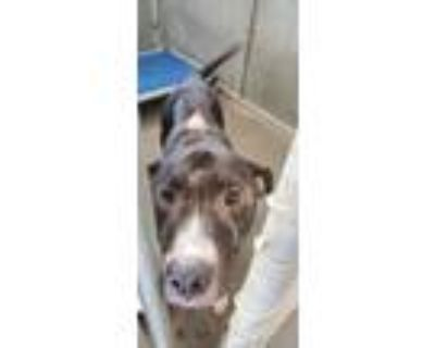 Adopt LUCKY a Black American Pit Bull Terrier / Mixed dog in Raeford