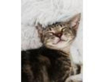 Adopt Deborah kittens a Tabby