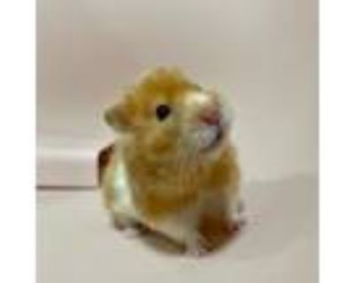 Adopt Bagel a Orange Hamster / Mixed small animal in Lowell, MA (32082066)