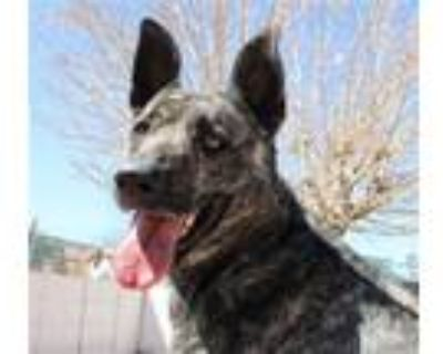 Adopt Cleo-Patra a Gray/Silver/Salt & Pepper - with Black Shepherd (Unknown