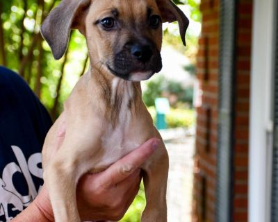 Peter - Terrier, Pit Bull/Mix - Puppy Male