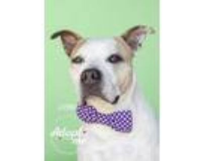 Adopt Johnny a White American Pit Bull Terrier / Mixed dog in Visalia