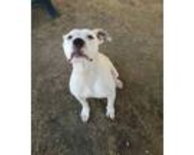 Adopt *SWEETS a White - with Black American Pit Bull Terrier / Mixed dog in