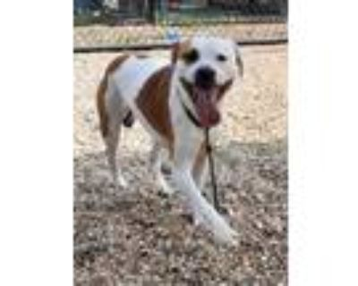 Adopt 48106256 a White American Pit Bull Terrier / Mixed dog in Chesapeake