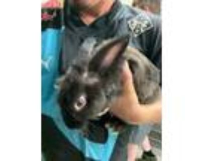 Adopt 6 a Black American / American / Mixed rabbit in Fort Worth, TX (31998157)