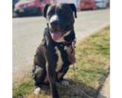 Adopt Roscoe (ID#387) a Boxer, American Staffordshire Terrier