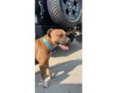 Adopt Melvin a Brown/Chocolate - with White American Pit Bull Terrier / Terrier