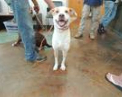 Adopt BABY a Tan/Yellow/Fawn - with White American Pit Bull Terrier / Mixed dog