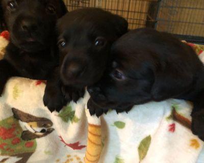Akc black lab pups