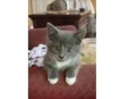 Adopt Jupiter a Gray or Blue (Mostly) Domestic Shorthair / Mixed cat in Fremont