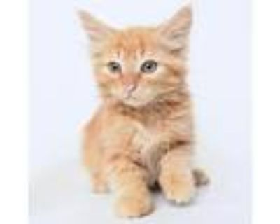 Adopt Greenlee a Orange or Red Domestic Mediumhair / Mixed cat in Springfield