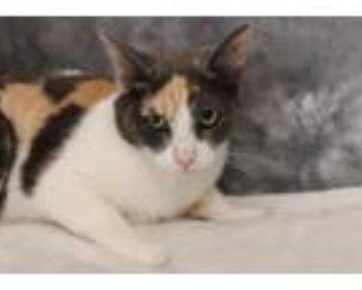Adopt Minka a Domestic Short Hair, Dilute Calico