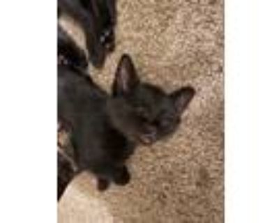 Adopt Lilo a All Black American Shorthair / Mixed (short coat) cat in Fort