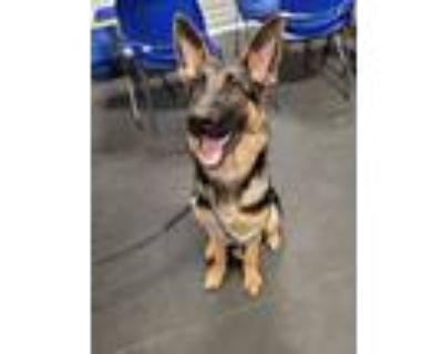 Adopt Grizzly a Black - with Tan, Yellow or Fawn German Shepherd Dog / Mixed dog
