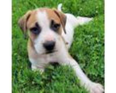 Adopt Waylon Jennings a Hound, Boxer