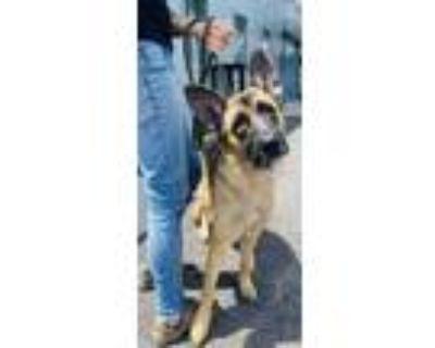 Adopt Uta a Tan/Yellow/Fawn Shepherd (Unknown Type) / Mixed dog in Binghamton