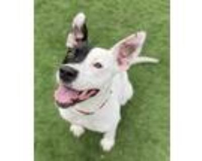 Adopt Charley a White Australian Cattle Dog / Mixed dog in Quincy, IL (31126004)