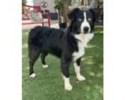 Adopt Lucy a Black - with White Australian Shepherd / Mixed dog in Temecula