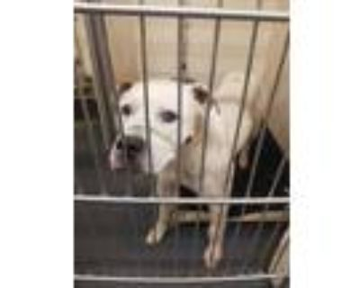 Adopt PEPPERJACK a White American Pit Bull Terrier / Mixed dog in Indianapolis
