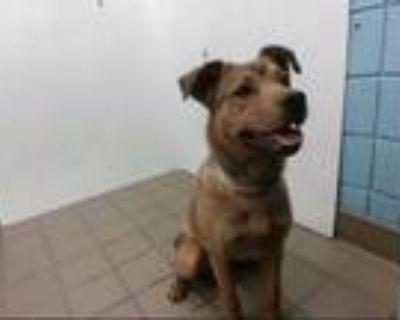 Adopt LEMONADE a Australian Cattle Dog / Blue Heeler, German Shepherd Dog