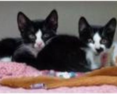 Adopt TRAPEZOID and OCTAGON a Domestic Short Hair