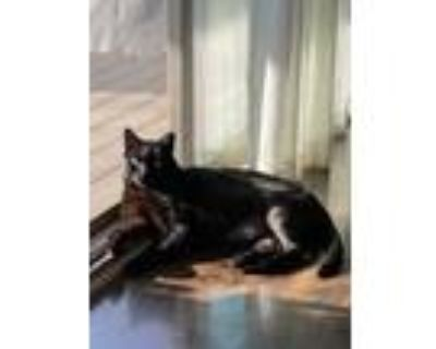 Adopt Oliver a Black (Mostly) American Shorthair / Mixed (short coat) cat in
