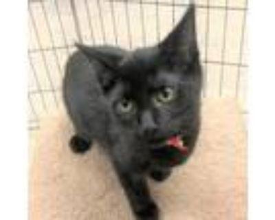 Adopt Togo a All Black Domestic Shorthair / Mixed cat in Blasdell, NY (32079984)