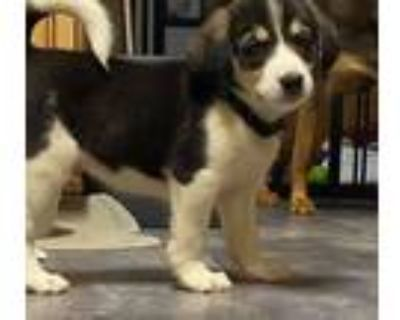 Adopt Oboe a White - with Black Beagle dog in Gilbertsville, PA (31970186)