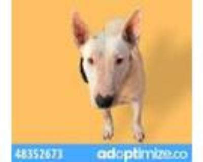Adopt 48352673 a White Bull Terrier / Mixed dog in El Paso, TX (32132650)