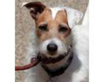 Adopt Duke a Jack Russell Terrier